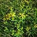 Hypericum humifusum L.<br />Hypericaceawe<br /><br />Erba di San Giovanni prostrata<br />Millepertuis couché<br />Niederliegendes Johanniskraut