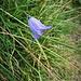 Campanula scheuchzeri L.<br />Campanulaceae<br /><br />Campanula di Scheuchzer<br />Campanule de Scheuchzer<br />Scheuchzers Glockenblume