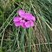 Dianthus carthusianorum L.<br />Caryophillaceae<br /><br />Garofano dei Certosini<br />Oeillet des Chartreux <br />Kartäuser-Nelke<br />