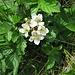 Rubus caesius L.<br />Rosaceae<br /><br />Rovo bluastro<br />Ronce Bleuâtre<br />Blaue Brombeere, Kratzbeere<br /><br />