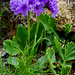 Breitblättrige Primel (Primula latifolia)
