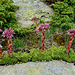 Alpen-Hauswurz (Sempervivum tectorum ssp. alpinum)
