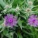 Federige Flockenblume (Centaurea nervosa)