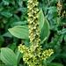 Gewöhnlicher Germer (Veratrum album ssp. lobelianum)