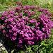 Rotes Seifenkraut (Saponaria ocymoides)