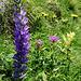 Ährige Glockenblume (Campanula spicata)