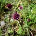 Kugeliger Lauch (Allium rotundum)