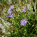 Blauer Lattich (Lactuca perennis)