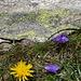...Habichtskraut und zierliche Glockenblumen...