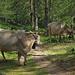 die  Rinder von der Cluismatte im schattigen Wald