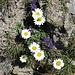 Alpen-Wucherblumen und Teufelskrallen...