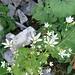 Rundblättriger Steinbrech (Saxifraga rotundifolia)
