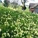 Neuhus bei Eggersriet - Schlüsselblumen als Frühlingsboten
