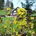 Fürschwendi - Lorbeer in Blüte vor Appenzeller Bauernhaus