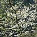 Rorschacherberg - Wilder Kirschbaum in voller Blüte