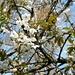Wienachttobel - Kirschblüte