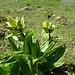 Auch die Tüpfelenziane blühen noch