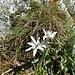 Edelweiss vor der Cufercalhütte