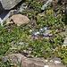Obwohl das Brünnlital auf den ersten Blick eine vegetationslose Wüste zu sein scheint, gibt es Oasen des Lebens, wie hier bei unserem Rastplatz, wo das Alpen-Vergissmeinnicht (Myosotis alpestris) gedeiht.