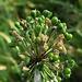 Allermannsharnisch,  Allium victorialis, Früchte, frutti