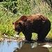 nach ausgedehntem Mittagsschlaf zeigt sich Coola, einer der beiden Grizzly's, welche hier ein neues Zuhause gefunden haben. Coola's Mutter wurde von einem LKW überfahren.
