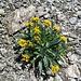 Krainisches Graues Greiskraut (Senecio incanus subsp. carniolicus)