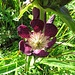 Ostalpen-Enzian (Gentiana pannonica)