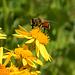 Wildbiene auf Kreuzkraut