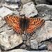 ein schöner oranger Schmetterling