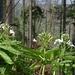 Fiederblättrige Zahnwurz (<i>Cardamine heptaphylla</i>) im Zahnwurz-Buchenwald auf dem Weg vom Schloss zur Gerstelflue