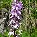 fein gezeichnete Orchis