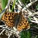 Schmetterling in Lischgaz ob Seewis  - chäppi sei Dank: Märzveilchenfalter