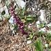 diese spezielle Orchis wird auch heute wieder gesichtet