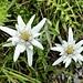 die ersten dieser edlen Blumen treffen wir noch vor ...