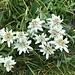 ... mit grosser Anzahl - hier in üppiger Gruppe - dieser fantastischen Alpenblumen