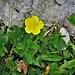 Helianthemum nummularium (L.) Mill. subsp. grandiflorum (Scop.) Schinz & THell.<br />Cistaceae<br /><br />Eliantemo maggiore<br />Hélianthème nummulaire<br />Gemeine Sonnenröschen