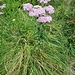 Achillea millefolium L.<br />Asteraceae<br /><br />Achillea millefoglia<br />Achillée millefeuille<br />Gewönliches Wiesen-Schafgarbe
