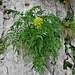 Molopospermum pelopponesiacum (L.) W. D. J. Koch<br />Apiaceae<br /><br />Cicutaria fetida<br />Moloposperme du Péloponnèse<br />Striemensame<br />