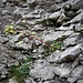 Saxifraga crustata West<br />Saxifragaceae<br /><br />Sassifraga incrostata