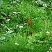 Pilosella aurantiacum (L.) F. W. Schultz & Sch. Bip. subsp. aurantiaca<br />Asteraceae