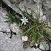 Leontopodium alpinum Cass.<br />Asteraceae<br /><br />Stella alpina, Edelweiss<br />Edelweiss<br />Edelweiss