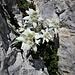Leontopodium alpinum L.<br />Asteraceae<br /><br />Stella alpina, Edelweiss<br />Edelweiss<br />Edelweiss