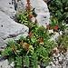 Rhodiola rosea L.<br />Crassulaceae<br /><br />Rodiola rosea<br />Orpin rose<br />Rosenwurz