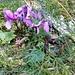 Cyclamen purpurascens Mill.<br />Primulaceae<br /><br />Ciclamino delle Alpi<br />Cyclamen d'Europe<br />Europäisches Alpenvelichen, Gemeine Ziklame, Erdscheibe <br /><br />
