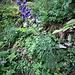 Aconitum napellus L.<br />Ranunculaceae<br /><br />Aconito napello<br />Aconit napelle<br />Blaue Eisenhut