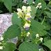 Galeopsis speciosa Mill.<br />Lamiaceae<br /><br />Canapetta screziata<br />Galéopsis splendide<br />Bunter Hohlzahn