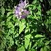 Campanula latifolia ???