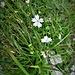 Silene alpestris Jacq.<br />Caryophillaceae<br /><br />Silene alpestre<br />Silène blanc, Silène des Alpes<br />Grosses Strahlensame
