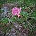Rhododendron hirsutum L.<br />Ericaceae<br /><br />Rododendro irsuto<br />Rhododendron cilié<br />Behaarte Alpenrose, Steinrose, Bewimperte Alpenrose<br />