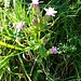 Gentiana germanica Willd.<br />Gentianaceae<br /><br />Genziana germanica<br />Gentiane d'automne<br />Deutscher Enzian
